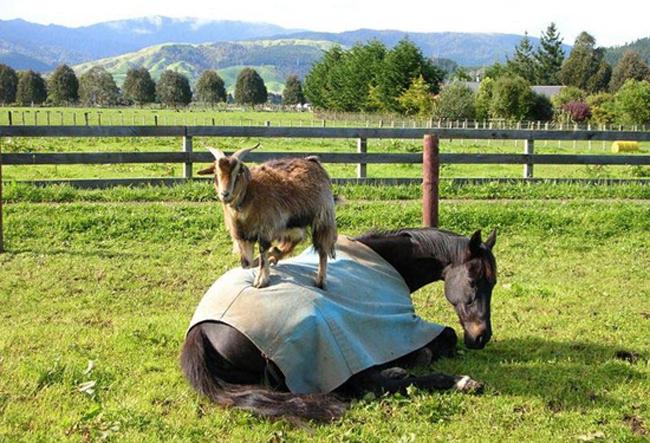 Goat on horse